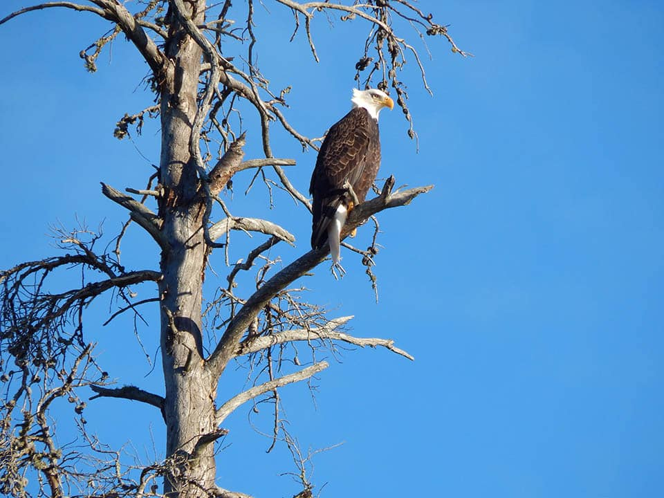 view bald eagles when staying at Voyageur Canoe Outfitters