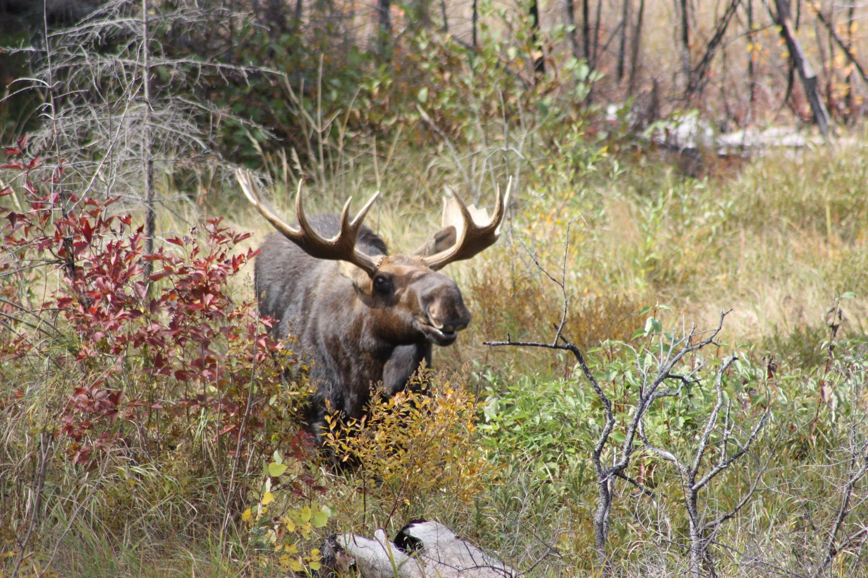 moose seen near Voyageur Canoe Outfitters