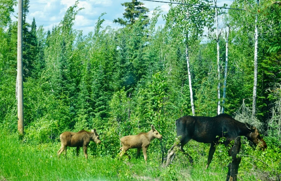 Moose with Babies